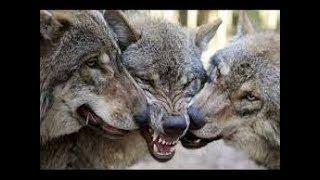 """Серьёзный фильм """"ДЕД: Повелитель волков"""" --- Serious film """"FATHER: Lord of the wolves"""""""