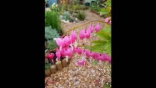 Magical Plants: Dicentra/Bleeding Heart