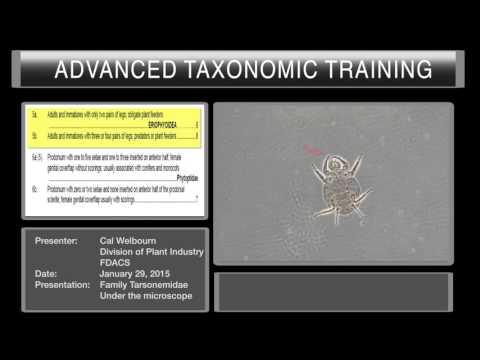 Mites under the microscope - Family Tarsonemidae