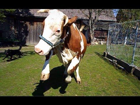 Krowa debil