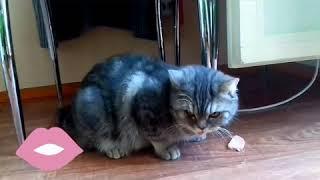#коты #приколы Приколы с Котами - Смешные коты и кошки