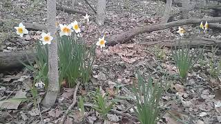 Someone Planted Daffodils In A Woods - Video Youtube