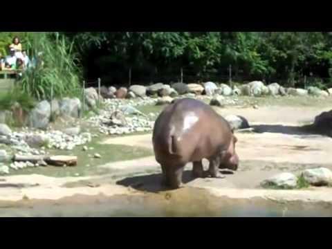 Berapa Lama Kuda Nil Kentut? [Video]