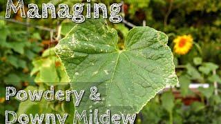 Managing Downy & Powdery Mildew On Cucumber, Squash, Zucchini, Pumpkin