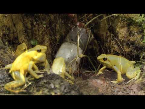 Three Golden poison dart frogs & One Blue poison dart frog