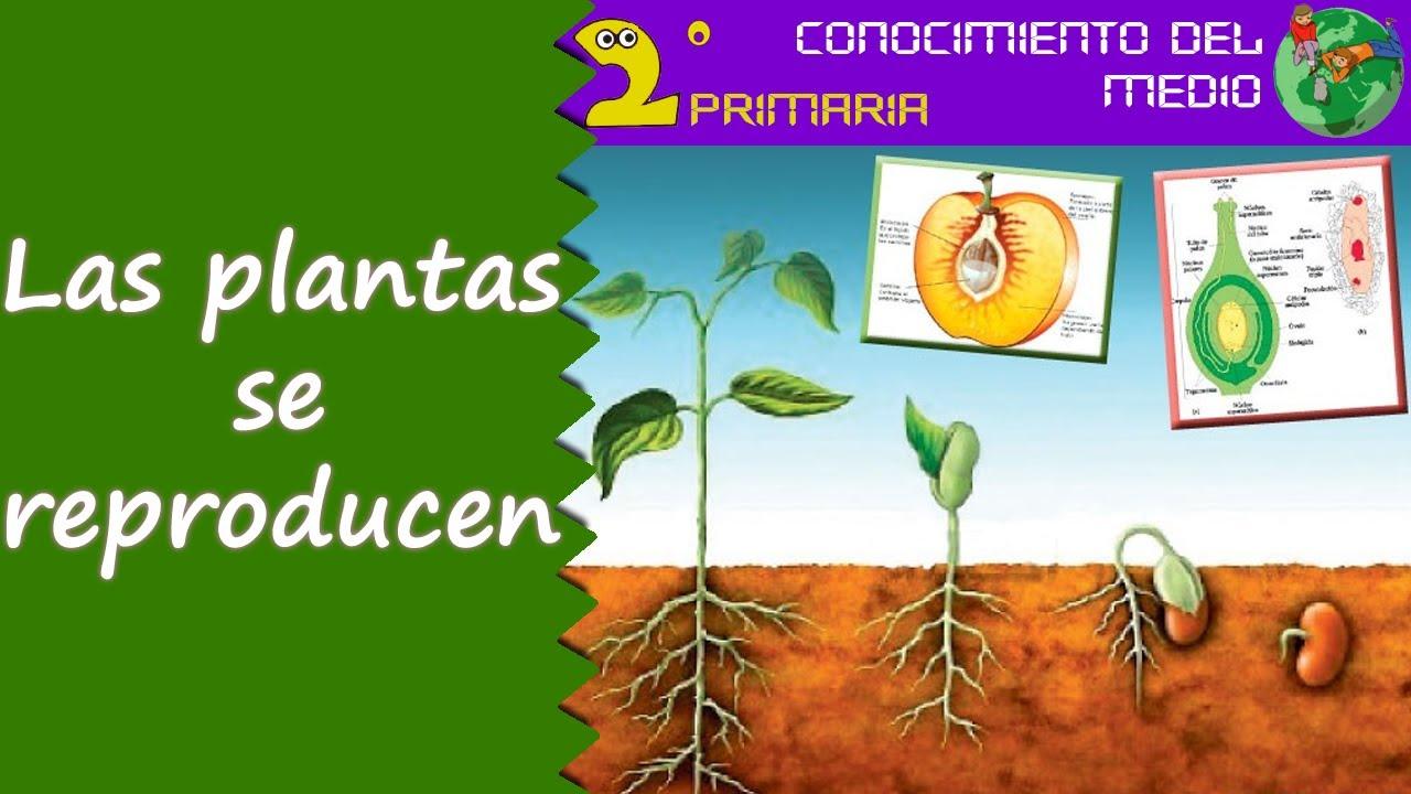 Cono, 2º Primaria. Tema 6. La reproducción de las plantas