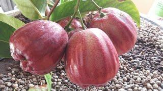 Rahasia teknik nanam pohon dipot supaya cepat berbuah