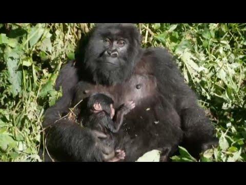 RDC: nouvelle naissance de gorille de montagne au parc des Virunga RDC: nouvelle naissance de gorille de montagne au parc des Virunga
