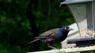 Grackle And Blue Jay At Feeder