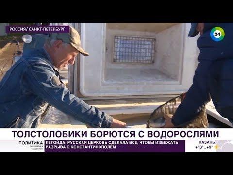 В Сестрорецкий разлив в Петербурге выпустили толстолобый десант