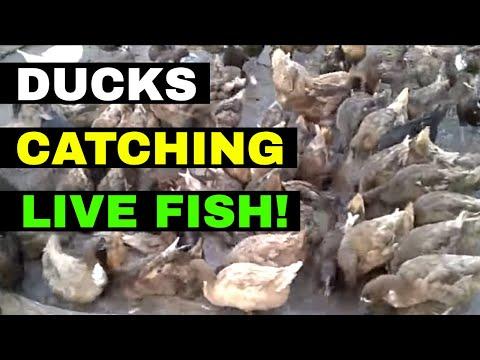 , title : 'DUCKS HUNTING FISH | Free-range Ducks