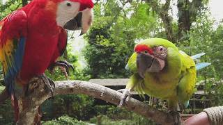 Jaguar Rescue Center | The Great Green Macaw and Scarlet Macaw rescued at JRC!