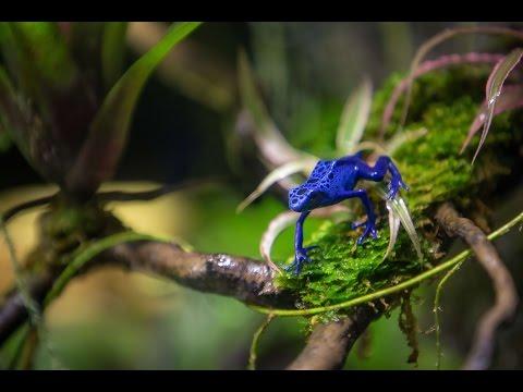Poison Arrow Frogs at S.E.A. Aquarium   Resorts World Sentosa
