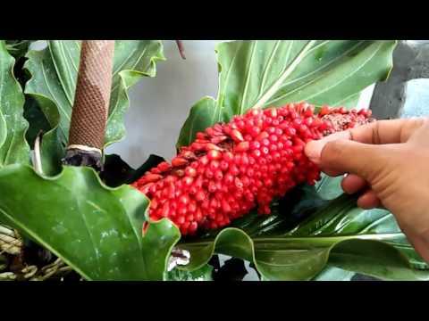 Video Menanam gelombang cinta dari tongkol atau benih ????