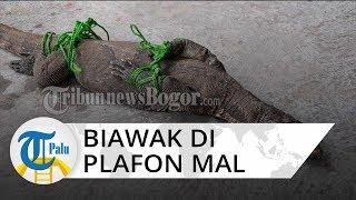 Biawak 1,5 Meter Ditemukan di Atas Plafon Mal