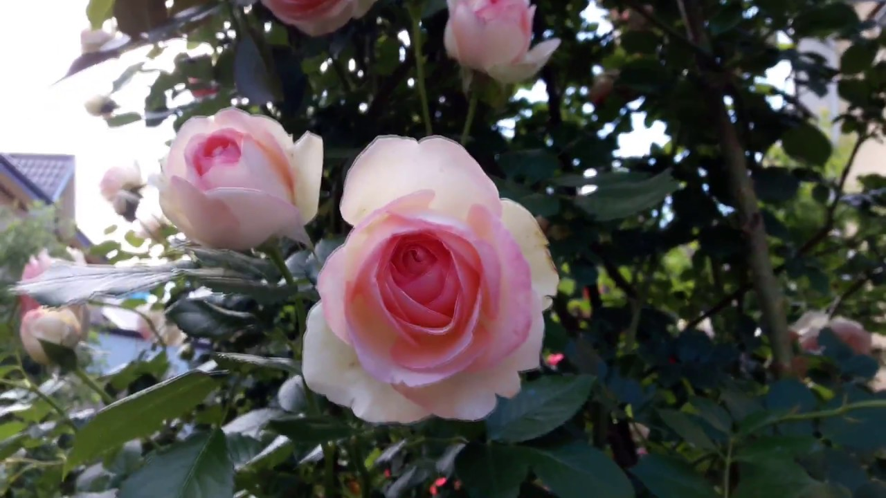 Роза Pierre De Ronsard (Eden Rose) (Meilland)