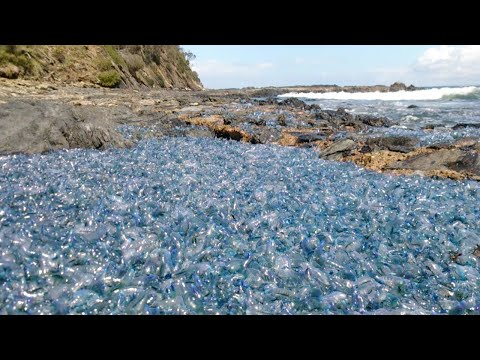 Thousands Of Bluebottles Wash Ashore In NSW: 'It Was The Stuff Of Nightmares'