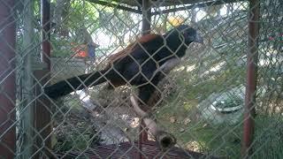 Bird    Greater Coucain the zoo