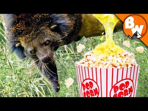 This Animal's PEE Smells like Popcorn?!
