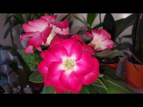 Адениум цветет  Сеянец 1,5 года и другие адениумы