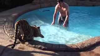 Домашний тигр.