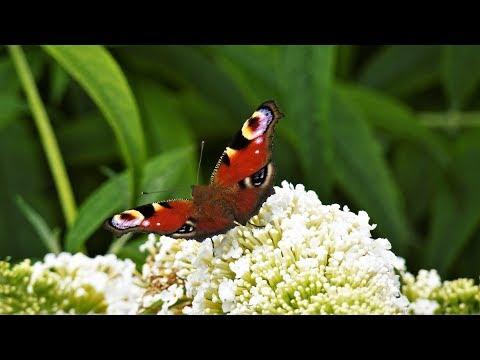 Schmetterlinge und ihre Lieblingsblumen