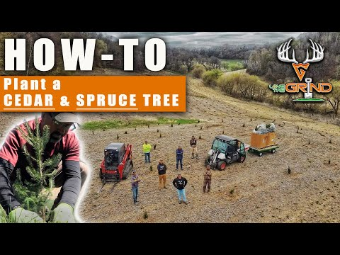 HOW-TO: Plant a CEDAR & SPRUCE Tree