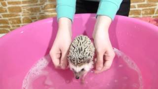 Купаем ежика!! SPA for Hedgehog