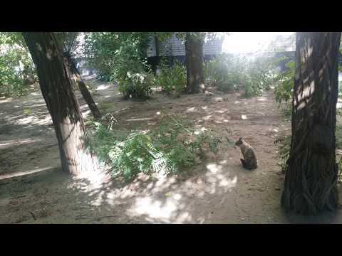 #волк #хаски #собака #кошка Стёпа. Встреча с сиамской кошкой.