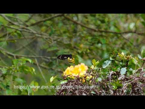 ロスチャイルドトリバネアゲハのメスの飛翔