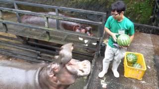 Hippo Family Eating Watermelons&Baby hippo @Nagasaki Japan