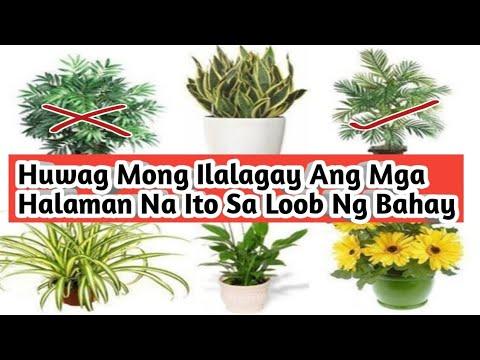 8 Halaman Hindi Mo Dapat Ilagay Sa Loob Ng Bahay