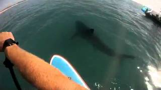 On A Surf Board With A Great White Shark