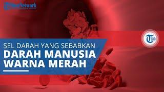 Eritrosit, Sel Darah yang Menjadi Penyebab Darah Manusia Berwarna Merah
