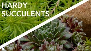 Hardy Succulents // Sempervivum and sedum