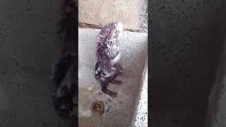 Крыса умывается сама