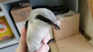 Серый Сорокопут. Очень милая вредная кусачая птица. Немного ястреба в конце.