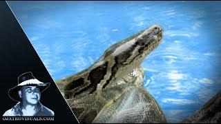 Aggressive Pythons 08 Footage