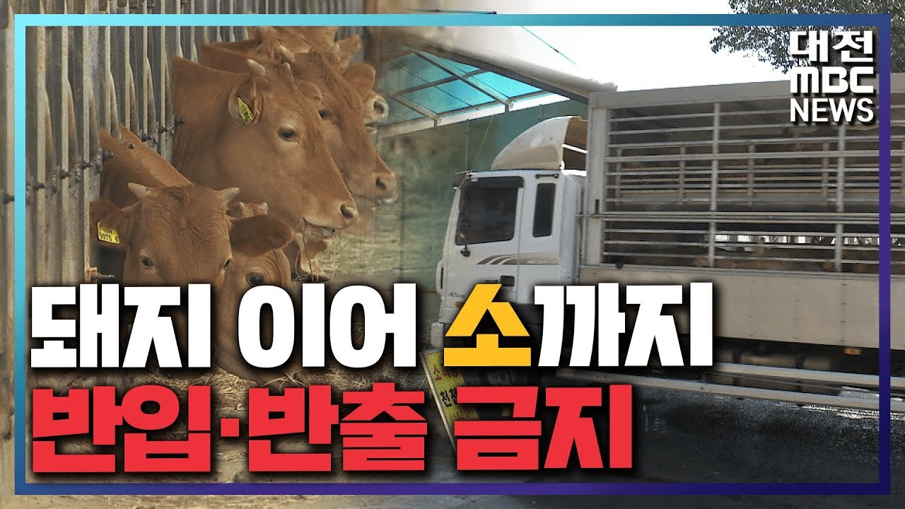 [리포트]돼지 이어 소도 반입·반출 금지
