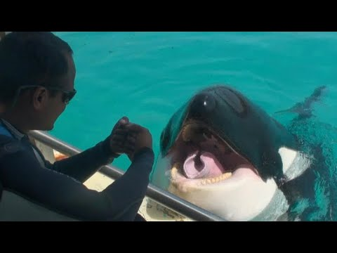 "Killer whale Wikie ""talks"" to researchers"