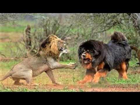 Tibetan Mastiff Monster With 'Lion's Blood'