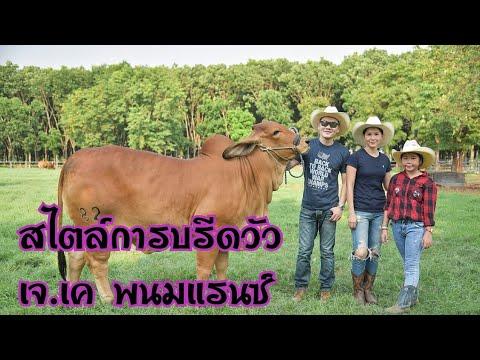 สไตล์การบรีดของวัว เจ.เค.พนมแรนซ์ |cow|brahman|ชัดเจนชาแนล|
