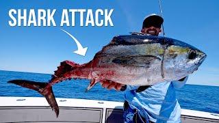 Shark Attacks our Giant Tuna
