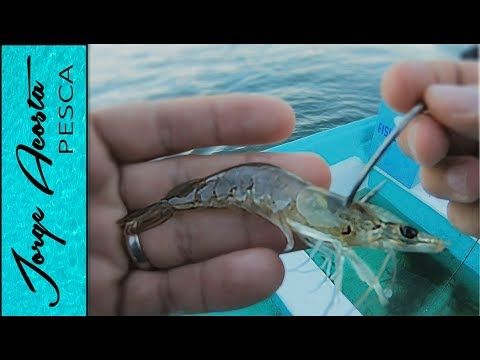 Pesca con Camaron VIVO - Pargo y Robalo