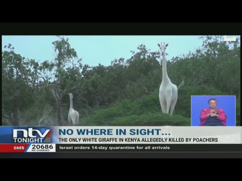 The only female white giraffe in Kenya allegedly killed by poachers