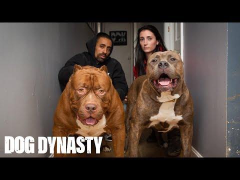 Kong: The 150lb Pitbull Puppy Set To Outgrow Hulk | DOG DYNASTY