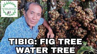 MAY FIG TREE SA INYONG BUKIRAN - HINDI MO LANG KILALA