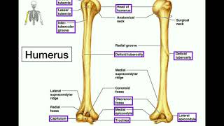 Anatomy | Specific Bony Features of the Humerus & Left vs. Right