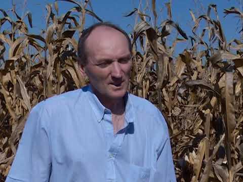 Berba kukuruza u Podunavskom okrugu