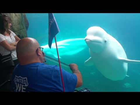 Beluga Whale Captivated by a Violin
